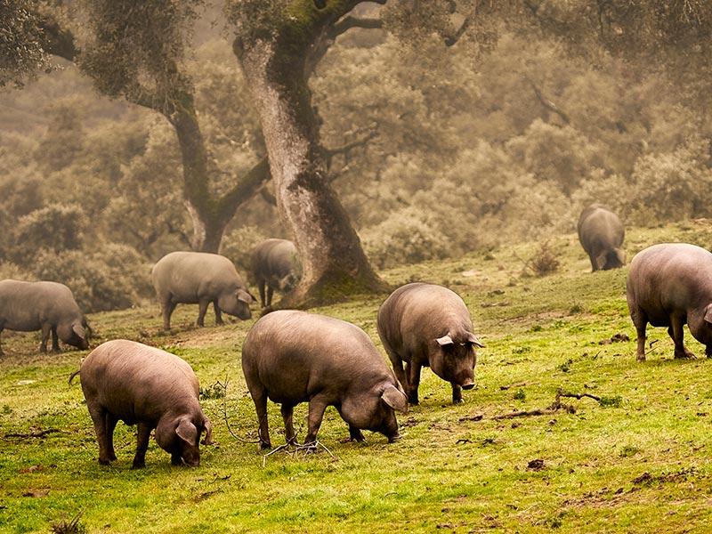 despiece de cerdo ibérico