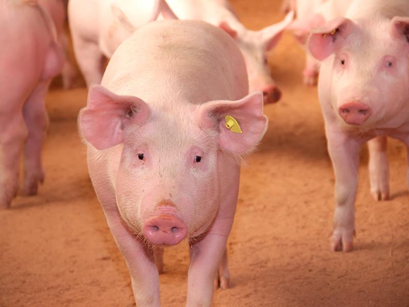 despiece cerdo blanco